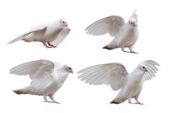 Set of dove poses isolated on white Stock Photo