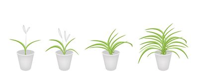 A Set of Dracaena Plant in Flower Pots Stock Photo