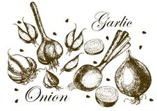 Set of drawing onions and garlic . Illustrations. Royalty Free Stock Photos