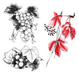 Set of drawings grape Stock Photography