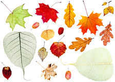 set of dried autumn leaves isolated on white Stock Photo