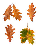 Set dried autumn oak leaves isolated on background Royalty Free Stock Photo
