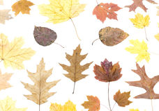 Set of dried different maple leaves isolated. On white background Royalty Free Stock Photo