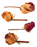 Set of dried roses Stock Photo