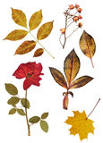 Set of dried roses and leaves Stock Photography