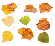 Set dry autumn yellow leaves isolated white background Stock Image