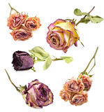 Set of dry roses. Set of beautiful dry roses isolated on white Royalty Free Stock Photo