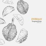 Set of durian , sketch vector. Royalty Free Stock Images