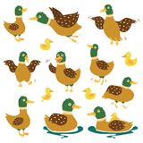 Set dzikie kaczki w różnych pozach Kaczki polowanie Wektorowe ilustracje na białym odosobnionym tle Fotografia Royalty Free