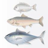 Set of Edible Fishes. Dorado, Salmon and Tuna Stock Image