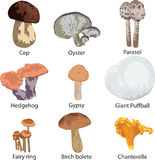 Set of edible mushrooms. Collection of edible mushrooms on white background Royalty Free Stock Photos