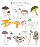 Set of edible mushrooms with titles on white background. Stock Photography