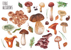 Set of edible mushrooms. Wild mushrooms on a white background. Many edible mushrooms Stock Images