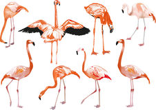 Set of eight pink flamingo on white Royalty Free Stock Photography
