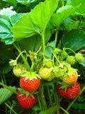 Set einer reifen Erdbeere Lizenzfreie Stockbilder