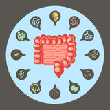 Set of enteric bacteria. Intestinal flora, Set of good and bad enteric bacteria, Gut flora in flat design for infographic, vector illustration eps 10 Royalty Free Stock Photography