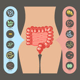 Set of enteric bacteria. Intestinal flora, Set of good and bad enteric bacteria, Gut flora in flat design for infographic, vector illustration eps 10 Stock Photos