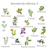 Set of essential oil plants. Hand drawn ector illustration. Set of essential oil plants bitter orange, gaultheria, tarragon, ylang-ylang, dill, gum rockrose Royalty Free Stock Image