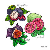 Set of exotic fruits. Beautiful set of delicious exotic fruits. fig, mangosteen and guava. hand-drawn illustration Royalty Free Stock Photos