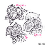 Set of exotic sketch fruits Stock Photo