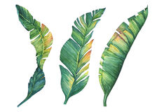 Set of exotic tropical banana leaves. Hand drawn watercolor painting on white background Royalty Free Stock Photo
