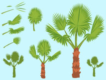 Set of fan palm round leaves. Fan Palm Tree. Formed from these leaves Stock Photo