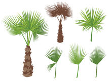 Set of fan palm round leaves. Fan Palm Tree. Formed from these leaves. On white background Royalty Free Stock Photo
