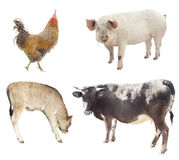 Set of farm animals. chicken, pig, cow. Isolated on white background Stock Photo