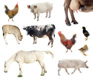 Set of farm animals. chicken, pig, cow. Isolated on white background Stock Images