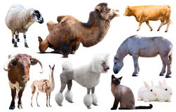 Set of farm animals. Collection of farm animals isolated on white background Royalty Free Stock Image