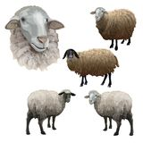 Set of farm sheeps. royalty free stock photos