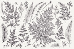 Set of fern leaves. Set with leaves. Ferns.  Vector design elements. Black and white. Botanical illustration Royalty Free Stock Photo
