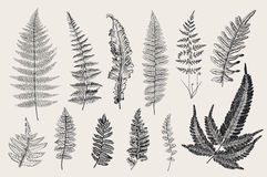 Set Ferns. 12 Leaves. Vintage botanical illustration. Black and white stock illustration