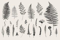 Set Ferns. Vintage vector botanical illustration. Black and white Royalty Free Stock Photos