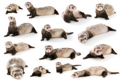 Set ferret  isolated Stock Image