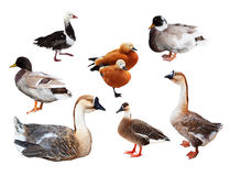 Set of few geese and ducks Stock Photos