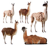 Set of few guanaco. Isolated on white Royalty Free Stock Images