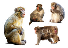 Set of few  macaques  over white background Stock Images