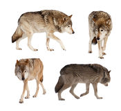 Set of few wolves. Isolated over white Royalty Free Stock Photography