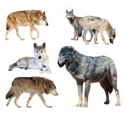 Set of few wolves. Isolated  on white Royalty Free Stock Images
