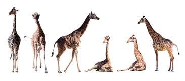 Set few żyrafy Fotografia Stock