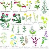 Set of field medicinal herbs. Watercolor vector illustration. Burdock, mint, mother-and-stepmom royalty free illustration