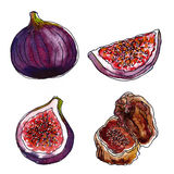 Set of figs on white background, watercolor Royalty Free Stock Image