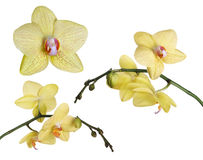 Set of fine lemon yellow orchids with pink spots Stock Image