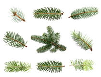 Set fir tree branch isolated on white. Background Stock Photography