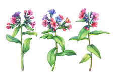 Set of  first spring wild flowers - Dark lungwort medicinal Pulmonaria officinalis. Hand drawn watercolor painting on white background Stock Photos