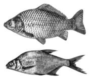 Set fish in black and white colors, isolated on white background Stock Photos