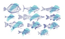 Set of fish hand drawn with contour lines against blue paint smear or brush stroke on background. Bundle of underwater. Animals living in sea, ocean, river Stock Photo