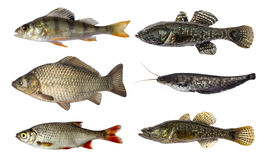 Set of fish isolated on white background Royalty Free Stock Photo