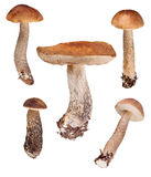 Set of five  birch boletes on white Royalty Free Stock Photography